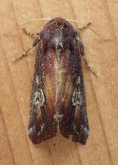 Noctuidae: Melanchra picta - Melanchra picta