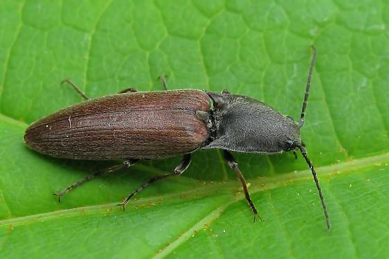 Click Beetle - Liotrichus spinosus