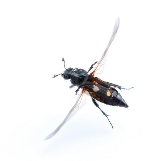 Nicrophorus orbicollis