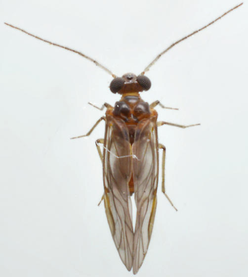 Barklice 2 - Peripsocus madidus - male