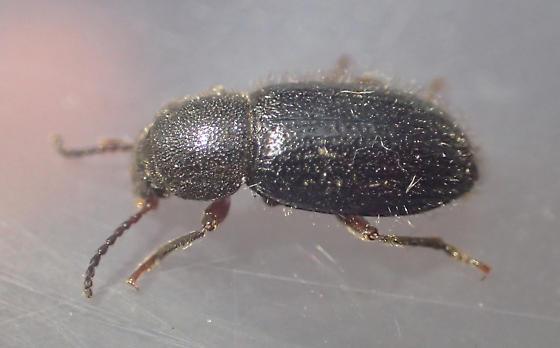 Beetle - Helops