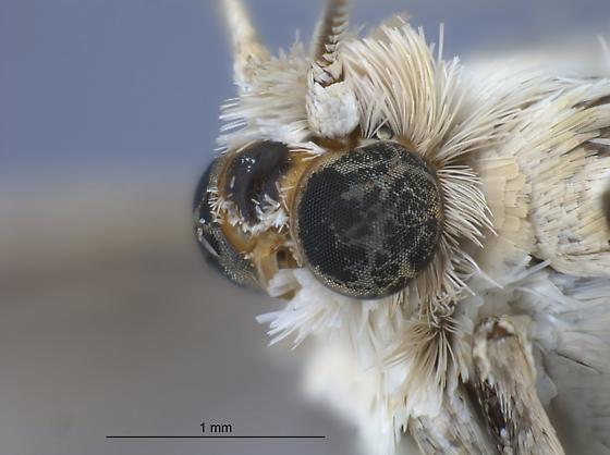 Eucosma montanana - male
