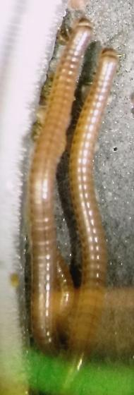 Millipede - What is the genus?