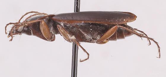 Calathus opaculus