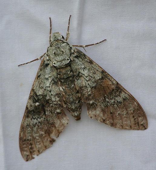 Unknown Madera Canyon Moth - Manduca florestan