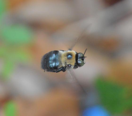 bumblebee (Bombis?) - Xylocopa virginica - male