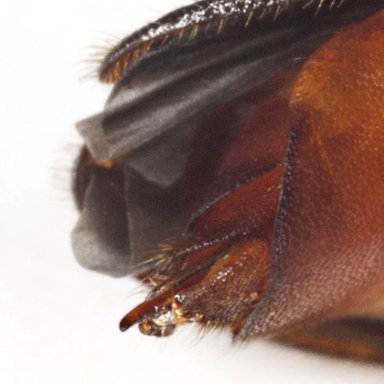 Selonodon Click Beetle_ - Selonodon