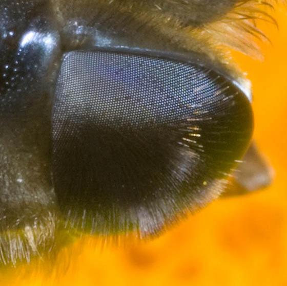 Syrphidae? - Eristalis tenax - female