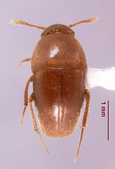 Ptomaphagus (Appadelopsis) fumosus (Peck) - Ptomaphagus fumosus