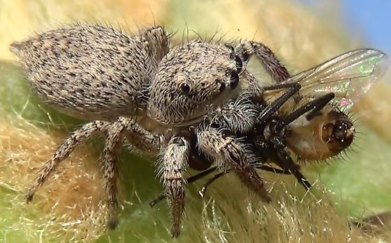 Jumping Spider Meal-time - Habronattus hirsutus - female