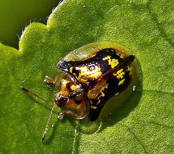 Golden Beetle - Deloyala guttata