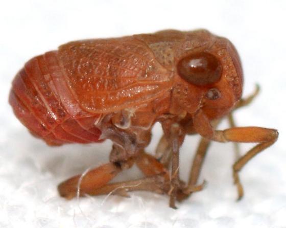 Aphelonema simplex
