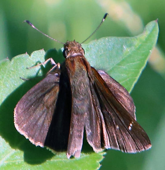 Maybe Three-Spotted Skipper  Cymaenes tripunctus ? - Lerema accius