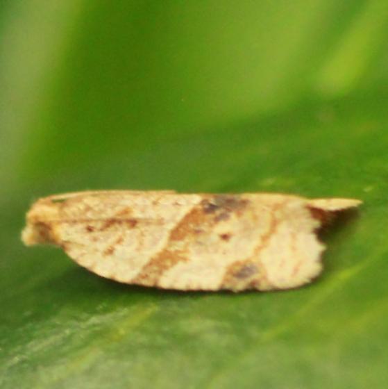 Garden Tortrix - Hodges#3688 - Lateral - Clepsis peritana