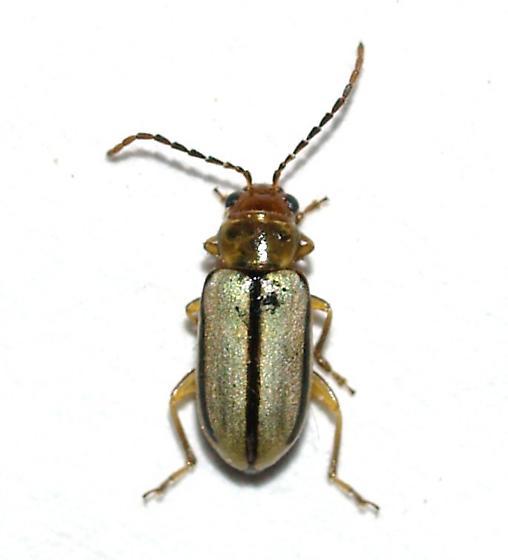 Chrysomelidae - Synetocephalus