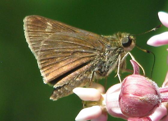 Little Glassywing female - Pompeius verna