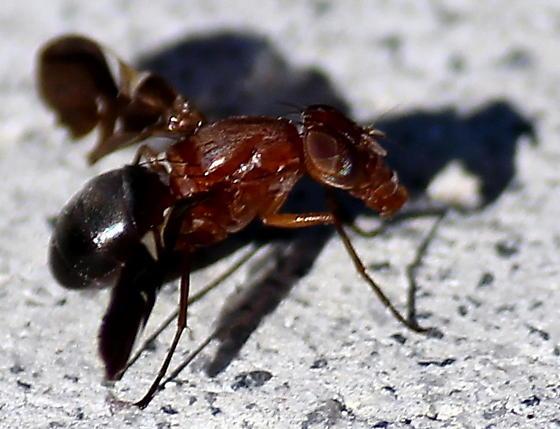 fly? - Delphinia picta