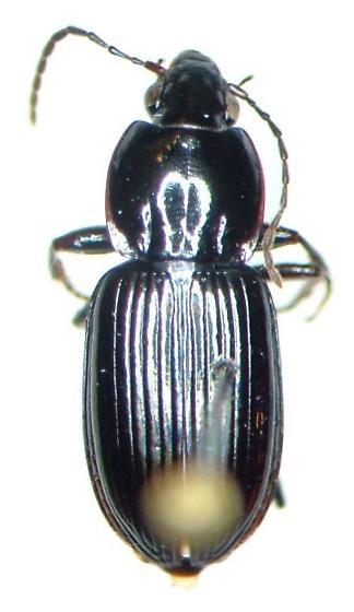 Pterostichus commutabilis - Pterostichus praetermissus