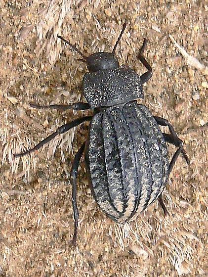 Unknown Carrion Beetle - Philolithus sordidus