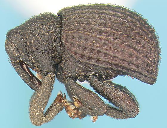 Curculionid - Eurhoptus curtus