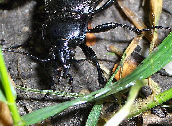 Black beetle - Carabus nemoralis