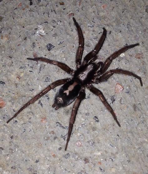 Annoying Spider Herpyllus Ecclesiasticus Bugguide Net