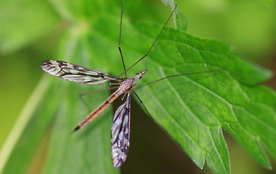 large crane fly - female
