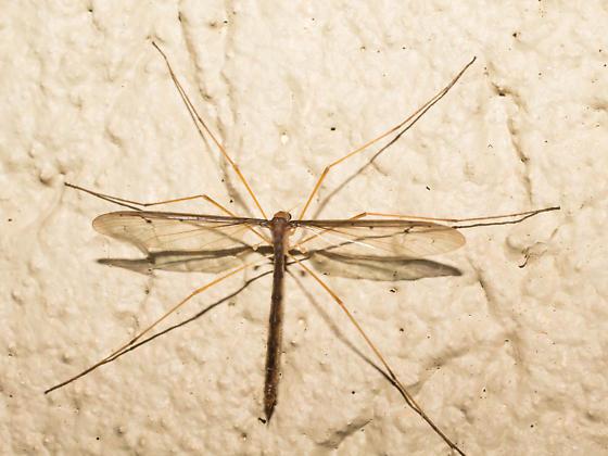 Dark brown crane fly - Pedicia inconstans