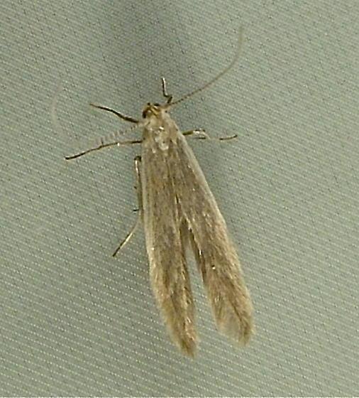 2135b Coleophora glaucicolella 1378 - Coleophora glaucicolella