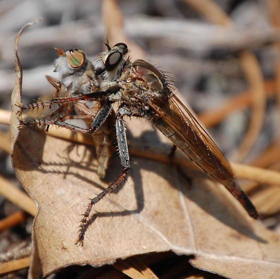 robber flies ID? - Proctacanthus brevipennis