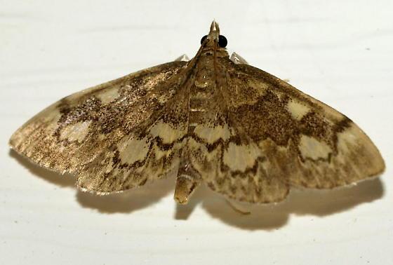 Crambid Moth - Anania plectilis