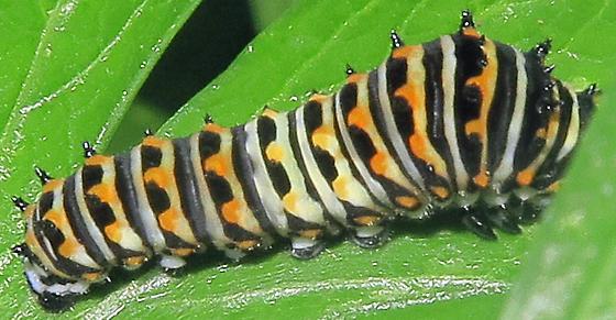 Easten Black Swallowtail - Papilio polyxenes