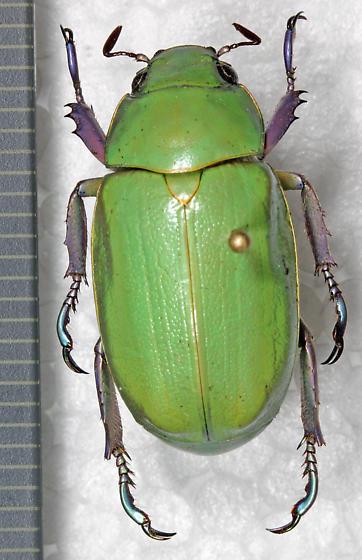 Scarabaeidae - Chrysina beyeri