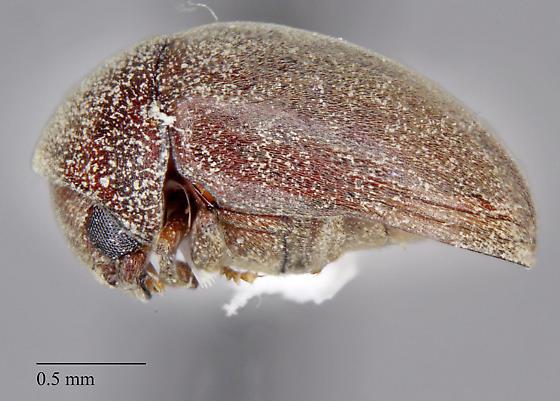 Phalacridae: Lasioderma sp.? - Lasioderma