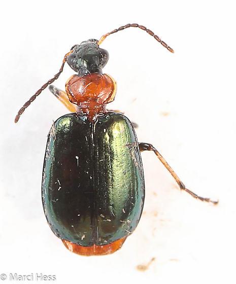 Lebia viridipennis