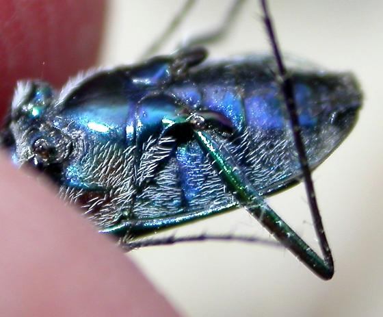 Cicindela punctulata - Cicindelidia punctulata