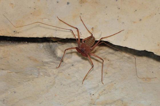 paraphrynus mexicanus - Phrynus operculatus