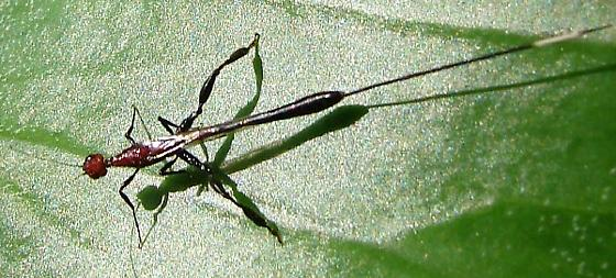 Wasp - Megischus bicolor - female