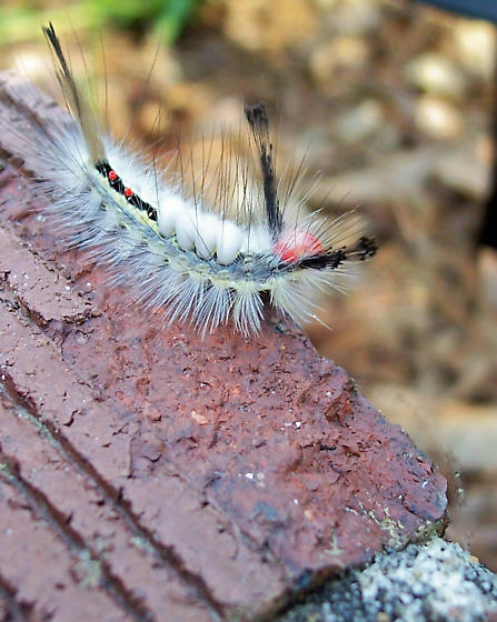 White-Marked Tussock Moth Caterpillar - Orgyia leucostigma