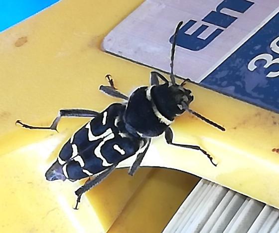 Black and yellow beer/beetle - Xylotrechus