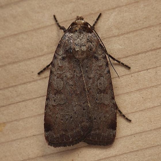 Noctuidae: Protolampra brunneicollis - Protolampra brunneicollis