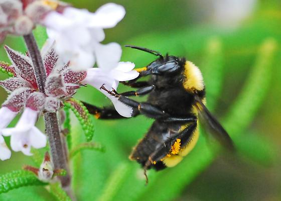 Sonoran  Bumble Bee - Bombus sonorus - female
