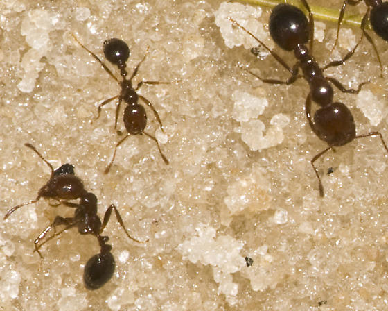 Beach ant - Solenopsis invicta
