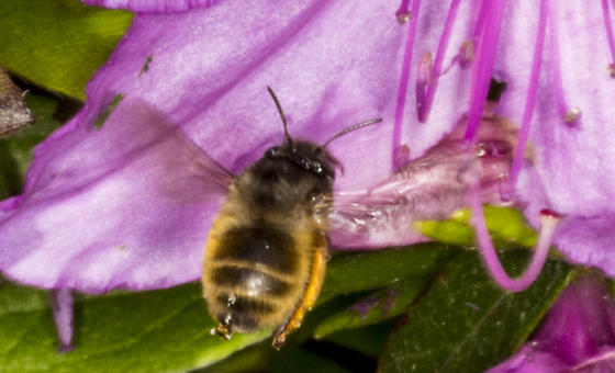 Small Fast Bee 1 - Anthophora villosula