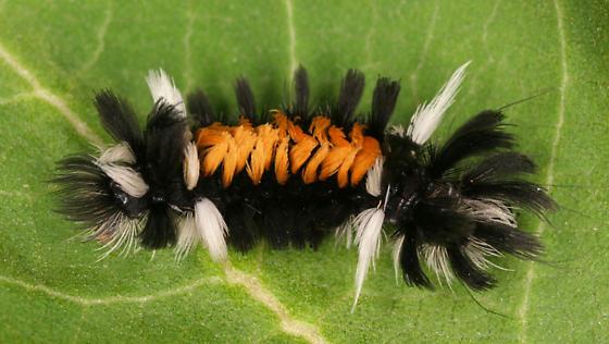 Milkweed Tussock Moth Caterpillar - Euchaetes egle