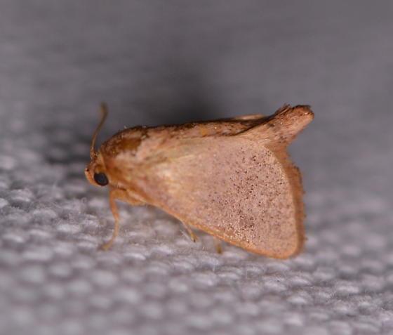 mystery slug moth