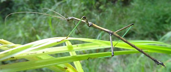 Big stick insect at Long Point - Diapheromera femorata - male
