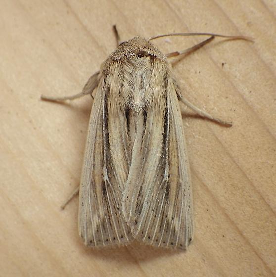 Noctuidae: Leucania commoides? - Leucania commoides