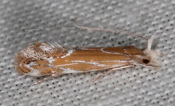 Gracillariidae - Euprora argentiliniella