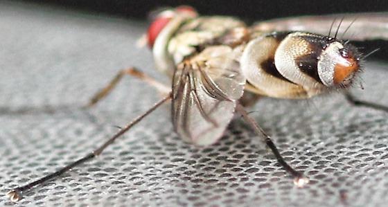 Fly on Truck - Zelia vertebrata - male